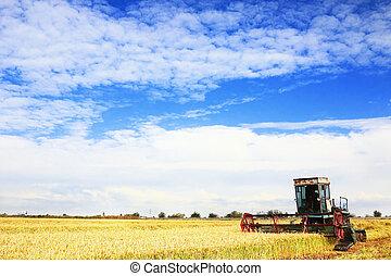 Ripe rice harvesting