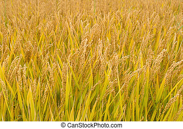 Ripe rice paddy in autumn