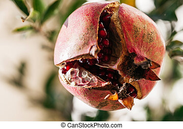 ripe round red pomegranate cracked after ripening, hanging on a pomegranate tree branch in the nature garden
