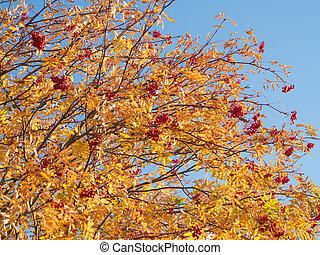 ripe rowan against the sky