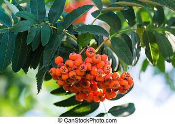 Ripe rowan berries on a branch