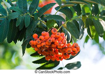 Ripe rowan berries on a branch
