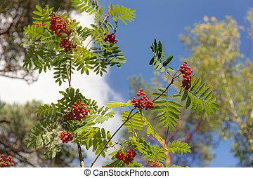 ripe rowan branches