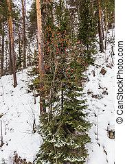 Ripe rowan in the forest near Belokurikha, Altai, Russia
