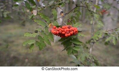 ripe rowanberry branch - ripe rowanberries on tree branch in...