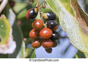 Ripe rumberries - Closeup of ripe black and orange ...