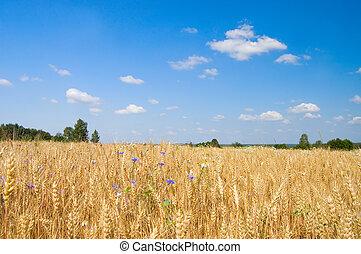 Ripe rye against the blue sky
