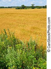 Ripe rye field on sunny day in July - Ripe rye field on a ...