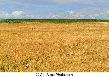 Ripe rye field on sunny day in July