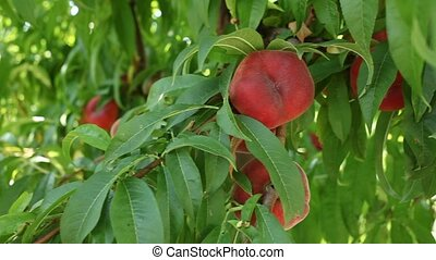 Growing organic flat peaches on tree brunch in orchard in sunny day