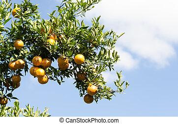 Ripe shogun orange hanging on tree. tangerine fruit