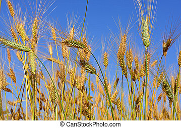 ripe spikes - ears of wheat and a blue sky