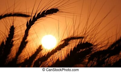 Ripe spikes of wheat are waving in the dusk of sunset in summer in Ukraine