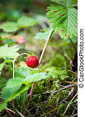 Ripe strawberries in the forest, close-up