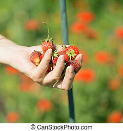 Ripe strawberries in the palms