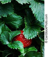 Ripe Strawberry Patch Garden - Ripe Red Strawberry Patch...