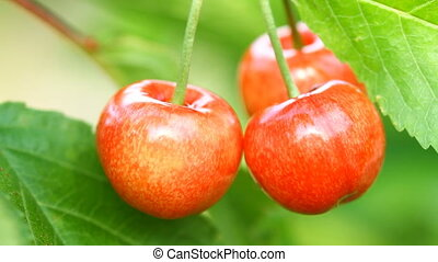 Ripe sweet cherry fruit on the tree