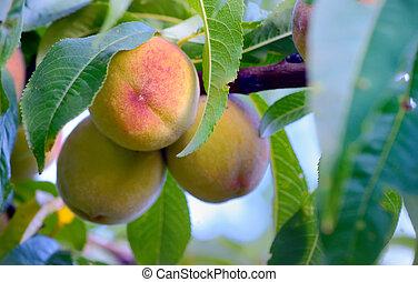 Ripe sweet peach fruits