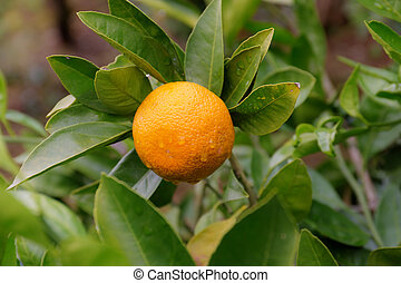 tangerine on a branch