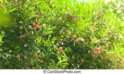 Ripe tangerines and sunlight. Fruits and green leaves.