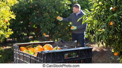 Ripe tangerines in a box in the garden