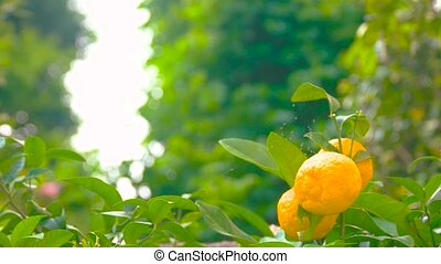 Ripe tangerines on the branch. Citrus fruits and green...