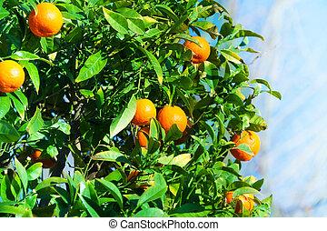 Ripe tangerines on the bush