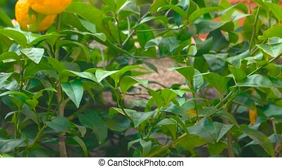 Ripe tangerines on tree branch. Green leaves and citrus...