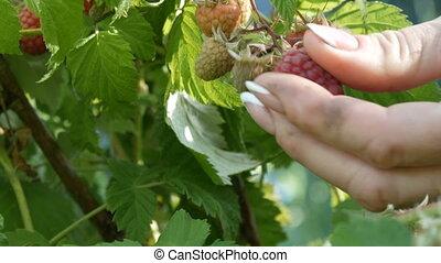 Ripe tasty red raspberries hanging on bush in the garden. Ripe tasty red raspberries hang on a bush in the garden. A woman plucks berries from a bush