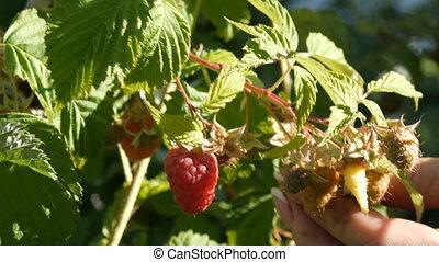 Ripe tasty red raspberries hanging on bush in the garden