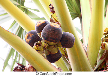 Ripe toddy palm fruits on tree - Ripe toddy palm or Palmyra...