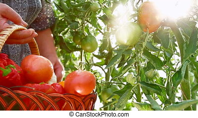 Ripe Tomato in Vegetable Garden - Farmer Hand Picking Ripe...