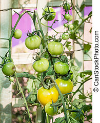 Ripe tomato on branch. Growing vegetables. Agriculture....