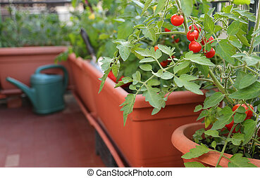 ripe tomatoes grown in plants inside the flower pots on the terrace with the organic farming technique called urban garden