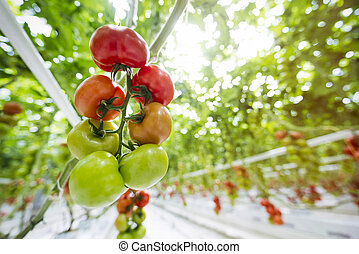 ripe tomatoes in greenhouse ready for harvest