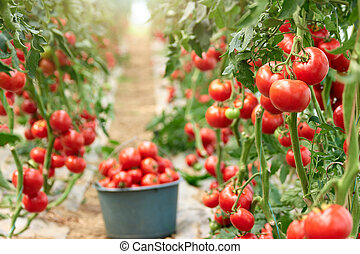 Ripe tomatoes in greenhouse ready to pick.
