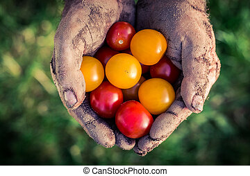 Ripe tomatoes in hands