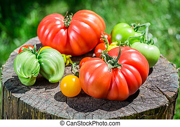Ripe tomatoes in sunny day