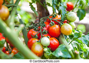 Ripe tomatoes in the garden