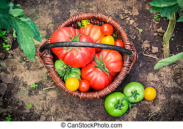 Ripe tomatoes in wicker basket