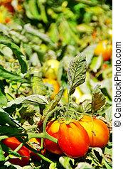 ripe tomatoes on field