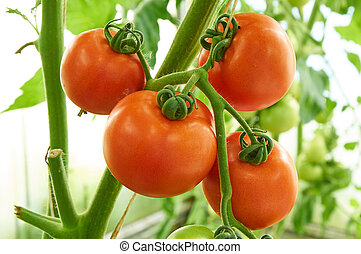 Ripe tomatoes on the branch