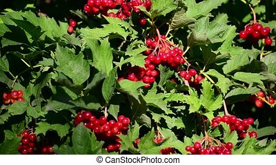Ripe viburnum berries in late summer
