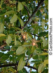 Ripe walnut on tree