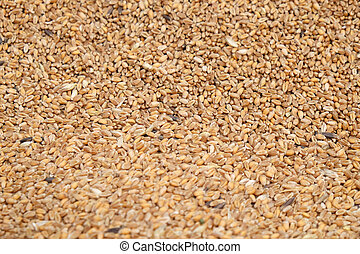 Ripe wheat after harvest
