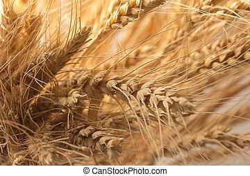 ripe wheat as background. macro