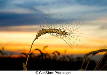 Ripe wheat at sunset