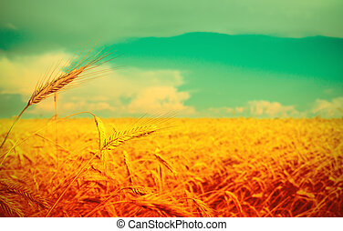 Ripe wheat at the field in grunge and a retro style