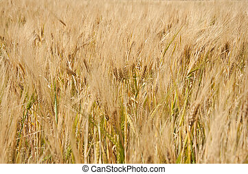 Ripe wheat background, close.
