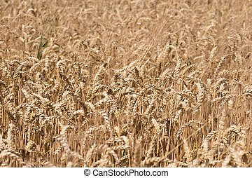Ripe Wheat Background. Closeup of Ripe Wheat Ears
